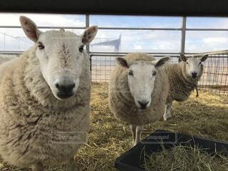 羊の写真・画像素材[2946354]