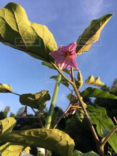茄子の花の写真・画像素材[1537986]