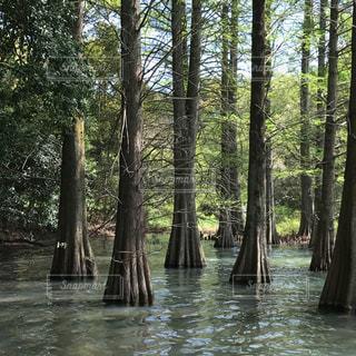 森の中の木の写真・画像素材[1515906]