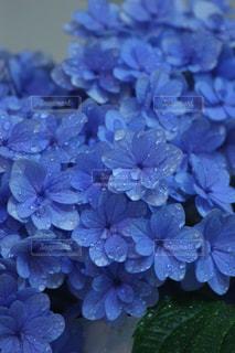 紫陽花の写真・画像素材[2250223]