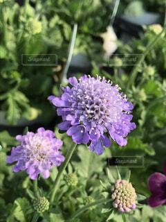 上品な薄紫の花 マツムシソウの写真・画像素材[1607150]