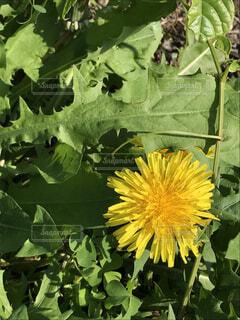 見慣れた花 タンポポの写真・画像素材[1609685]