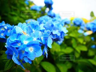 美しい紫陽花の写真・画像素材[1517535]