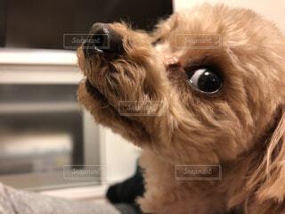 カメラを見て犬の写真・画像素材[1673245]
