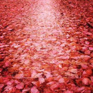 桜の花びらたちの写真・画像素材[3112860]