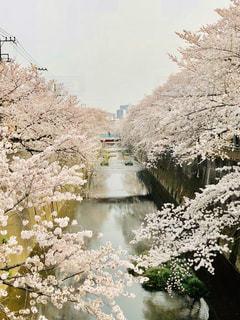 桜並木の写真・画像素材[1520426]