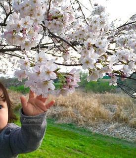 土手の桜。の写真・画像素材[1520139]