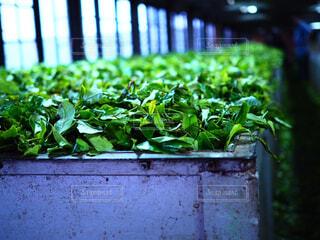 スリランカの紅茶工場の写真・画像素材[1520946]