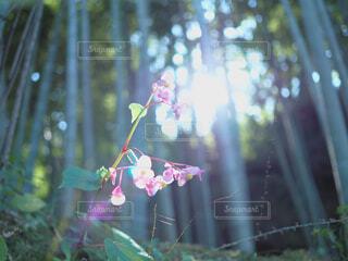 草を照らすの写真・画像素材[1520951]