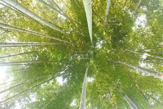 竹の写真・画像素材[1520952]