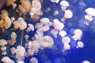 クラゲのグループの写真・画像素材[1521956]