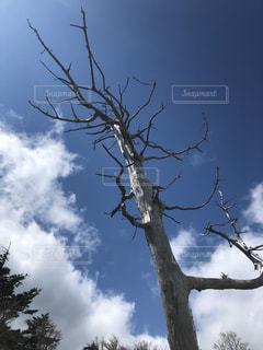 大台ケ原の枯木の写真・画像素材[1522594]