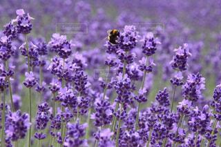 ラベンダー畑と蜂の写真・画像素材[1522959]