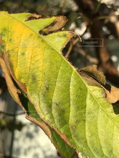 バナナの木の写真・画像素材[1523065]