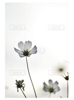 秋桜の写真・画像素材[1561954]