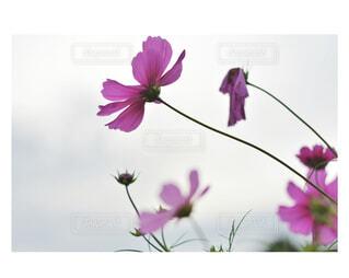 秋桜の写真・画像素材[1561996]