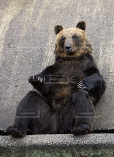 座ってくつろぐ熊の写真・画像素材[1529584]