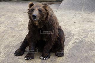疲れたクマさんの写真・画像素材[1529586]