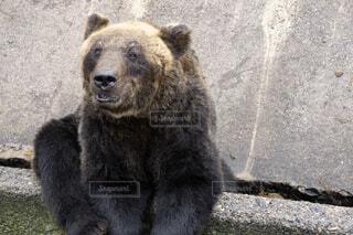 エサを待つヒグマの写真・画像素材[1529589]