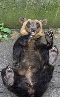 ごろーん熊の写真・画像素材[1529593]