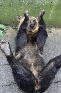 クマのレアショットの写真・画像素材[1529596]