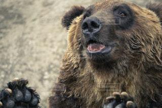 かわいいヒグマの写真・画像素材[1530000]