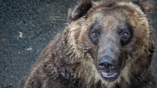 カメラ目線のクマの写真・画像素材[1530005]