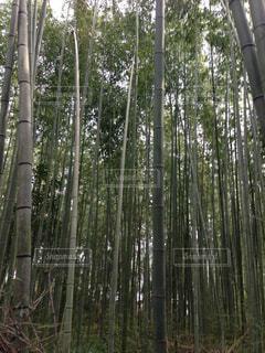 竹林の写真・画像素材[1528748]