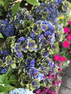 紫陽花の花のアップの写真・画像素材[1541947]