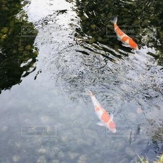 大きな鯉の写真・画像素材[2674834]