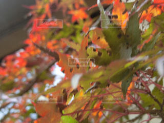 紅葉の写真・画像素材[1612237]