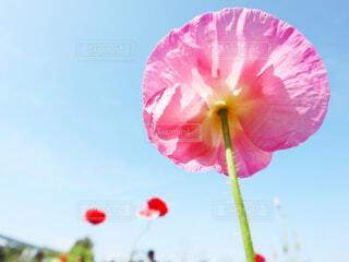 近くにピンクの傘の花のアップの写真・画像素材[2082382]