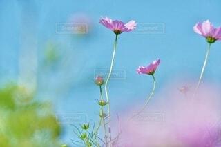 青空と光とコスモスの写真・画像素材[3775351]