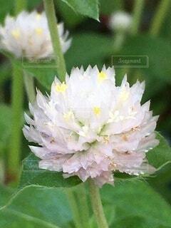 ピンクの花の写真・画像素材[3672080]