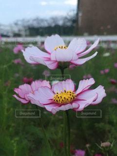 夕暮れの秋桜の写真・画像素材[1527200]