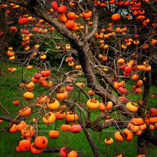 秋の柿の木の写真・画像素材[1533024]