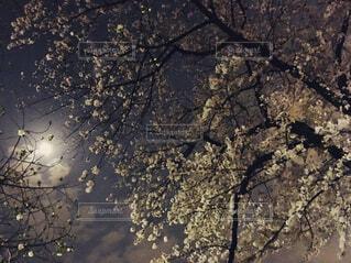 夜桜の写真・画像素材[1528264]