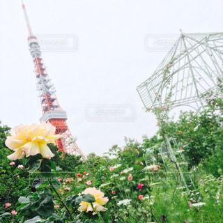 東京タワーと花の写真・画像素材[1580156]