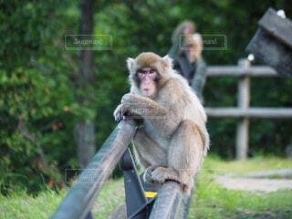 ベンチに座っている猿の写真・画像素材[1529432]