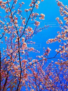 見上げた空に桜の写真・画像素材[1530399]