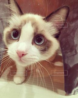 カメラを見ている猫の写真・画像素材[1625426]