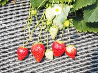 赤い果実の写真・画像素材[1831318]
