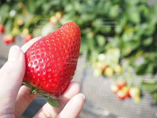 赤い果実の写真・画像素材[1831320]