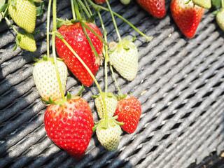 赤い果実の写真・画像素材[1831323]