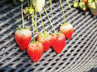 赤い果実の写真・画像素材[1831324]