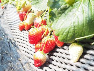 赤い果実の写真・画像素材[1831326]