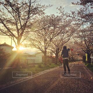 夕焼けと桜を見る男性の写真・画像素材[1530574]