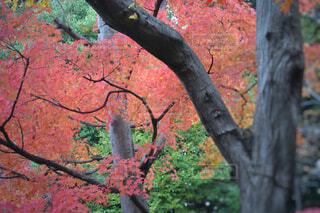 鮮やかな紅葉の写真・画像素材[1592030]