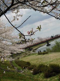 フィールドの大木の写真・画像素材[1531445]