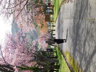 桜並木  散歩の写真・画像素材[1531451]